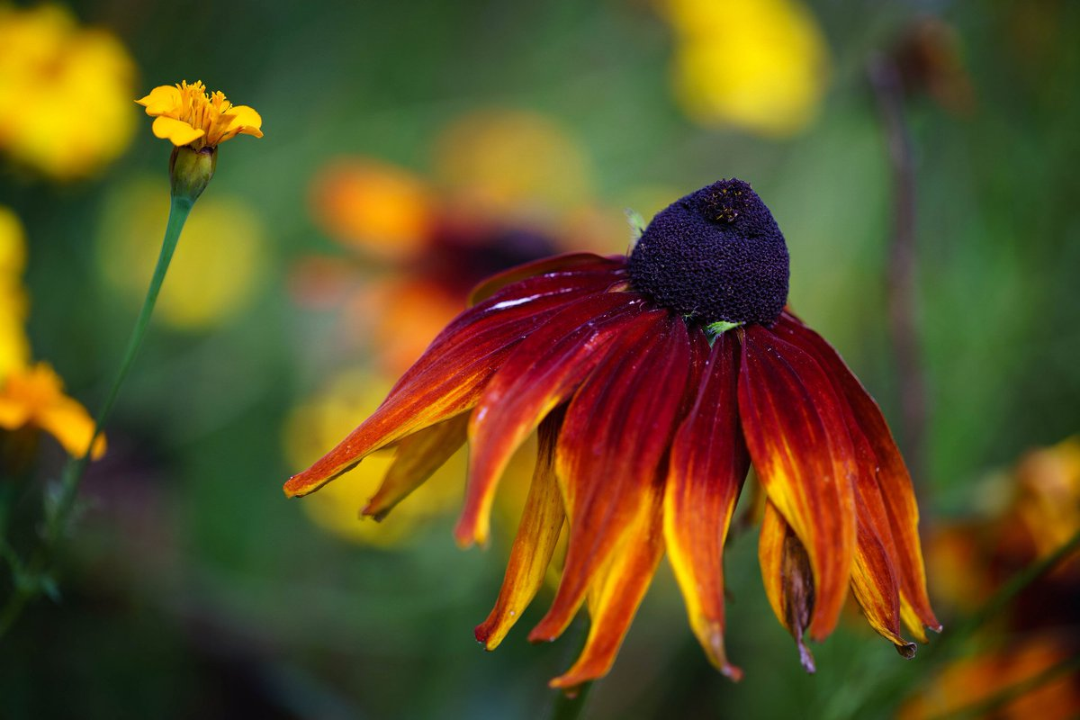 RT @aworsdell Rudbeckia @LoseleyPark garden for #sharemondays.