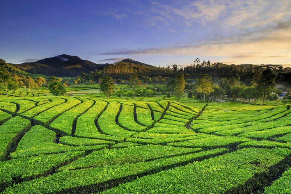 "Traveloka Indonesia on Twitter: ""Sore yang menyenangkan dari kebun teh # Rancabali, #Ciwidey :)… """
