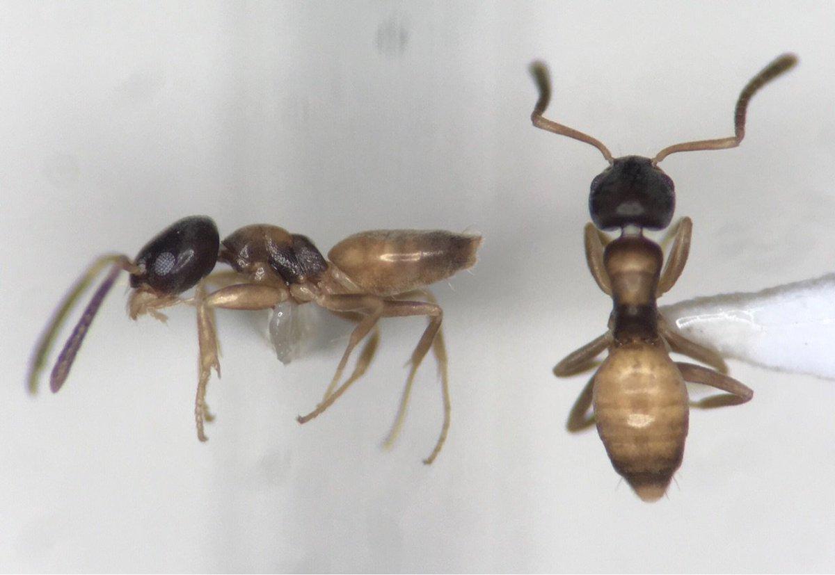 アワテコヌカアリの標本作製技術が完☆成、とはいえまだ歩留まりは悪いし精神力がメリメリすり減り肩と背中がバリバリになる。背面観察用の展脚は僕には無理だ。ノウハウとピンセットをあげるから誰かやってけれ。