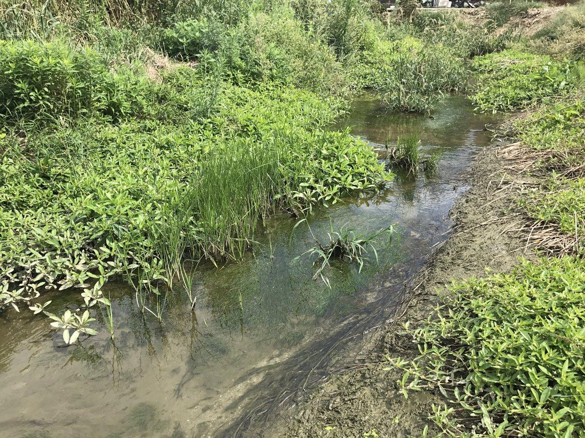 海に近い小川。  護岸整備されてない小川って、特に汽水域だと本当に少ないよね。  水中にはツツイトモ。隣にはコウキヤガラが生えてる。  周りのツルノゲイトウ(外来種)は残念だけど、まぁこのご時世なら仕方ないよね。