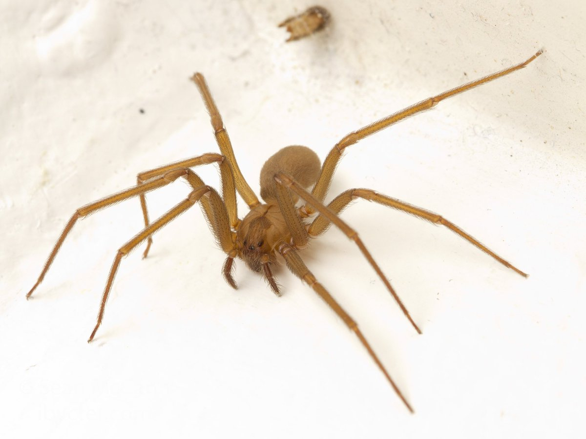 brown recluse images - HD1200×900