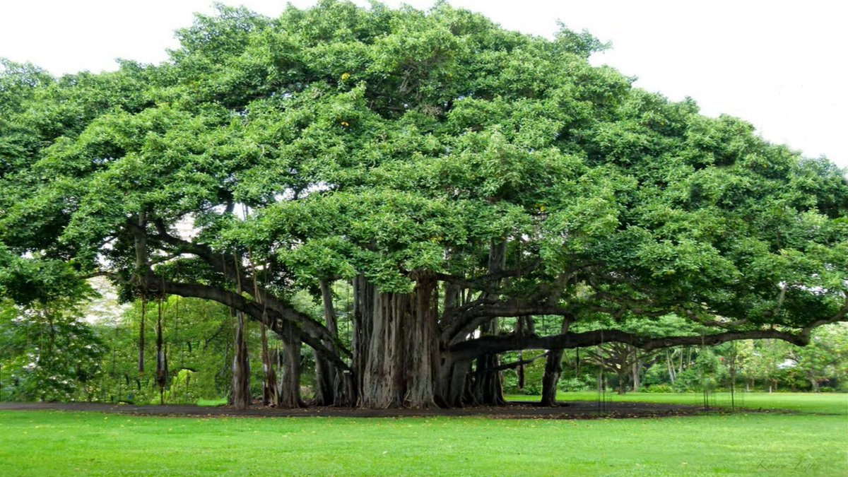 Image result for national tree of india