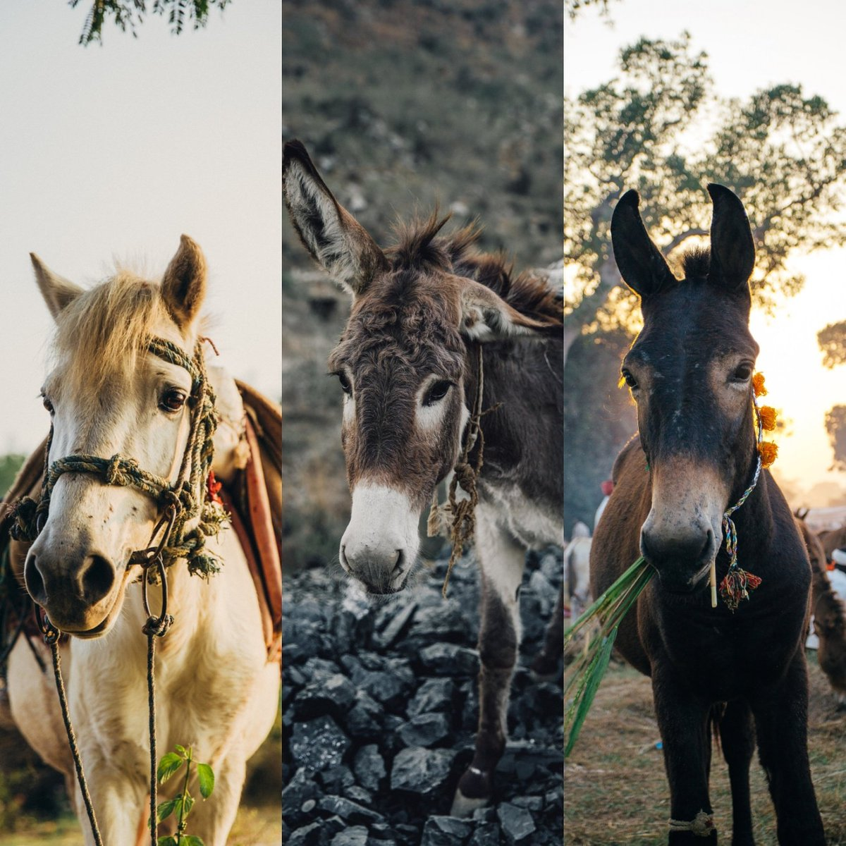 It's #WorldAnimalDay! Please RT to share the love for working horses, donkeys and mules worldwide