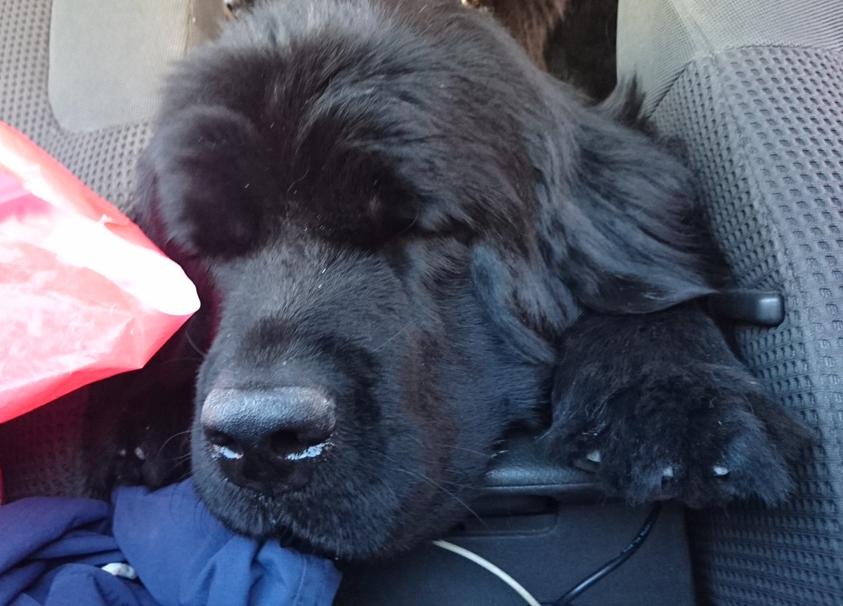 Bear And Emma On Twitter Still Sleepy But Eager For The Beach Newfoundlanddog Newfoundland Dog Newfie Pet Vacation