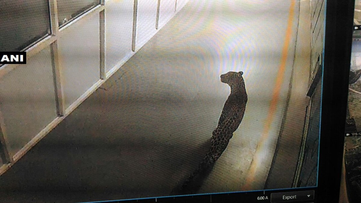 Leopard enters the Maruti Suzuki plant in Manesar""