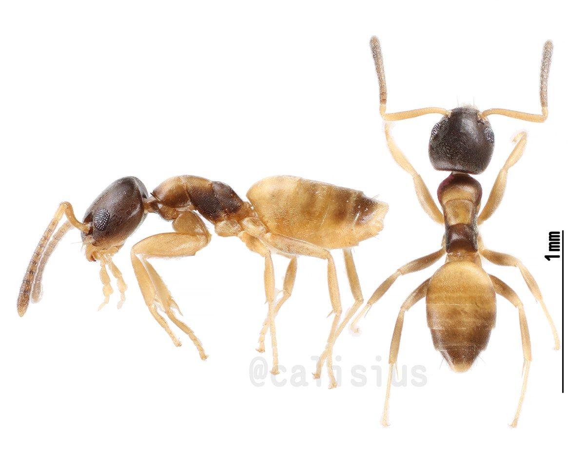 アワテコヌカアリさん。標本を作ってから数日たってもお腹が凹む気配はない。うれしくなって深度合成で撮ってみた。