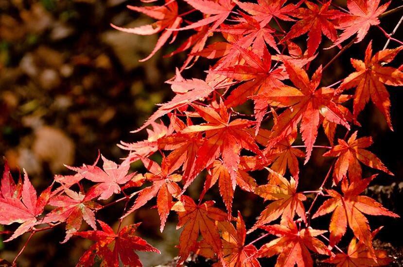 「袋田 の 滝 紅葉 ライト アップ」の画像検索結果