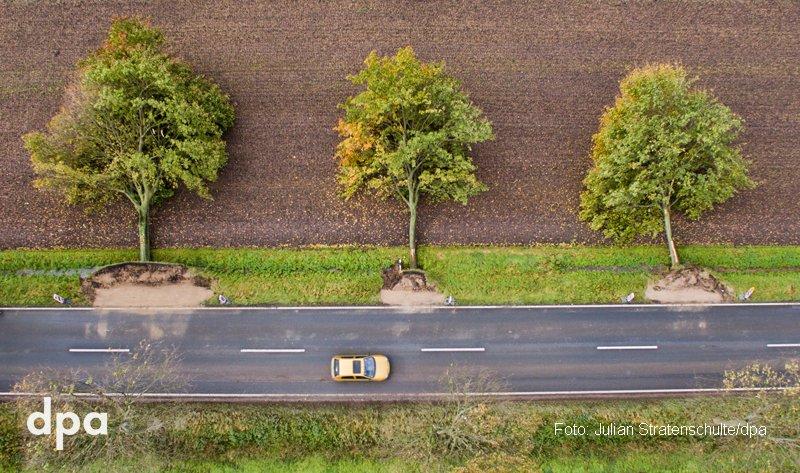 Die Umfaller: Drei von Sturm #Xavier entwurzelte Bäume liegen an einer Straße bei Rautenberg in Niedersachsen (dmo)