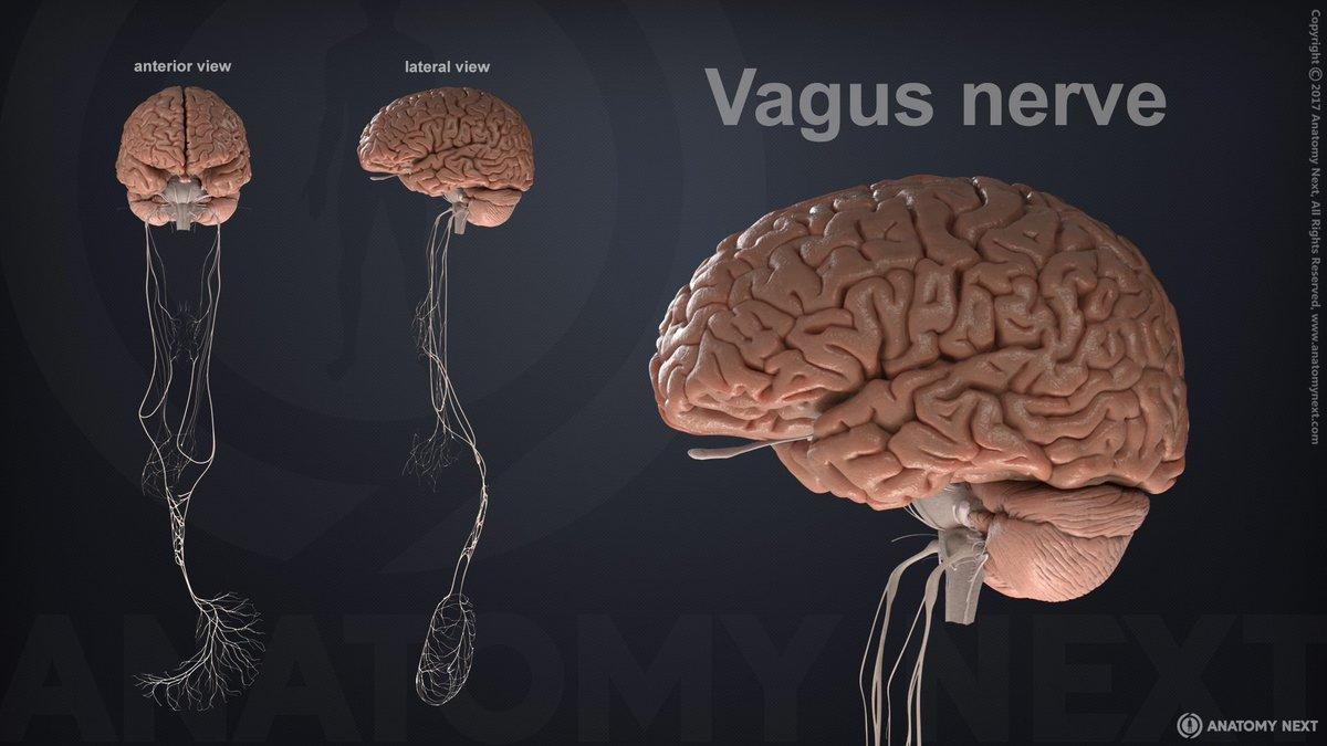 Anatomy Next On Twitter Vagus Nerve By Anatomynext