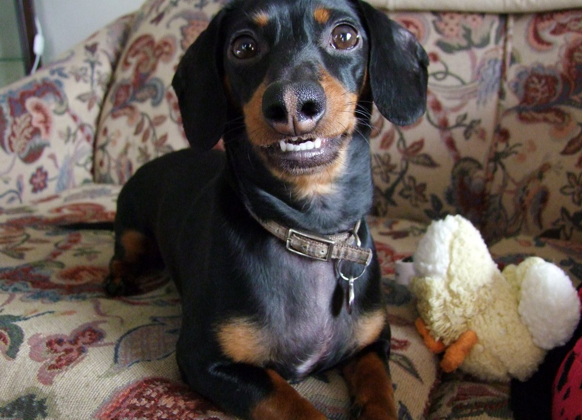 """Crusoe the Dachshund on Twitter: """"Is this a good smile ..."""