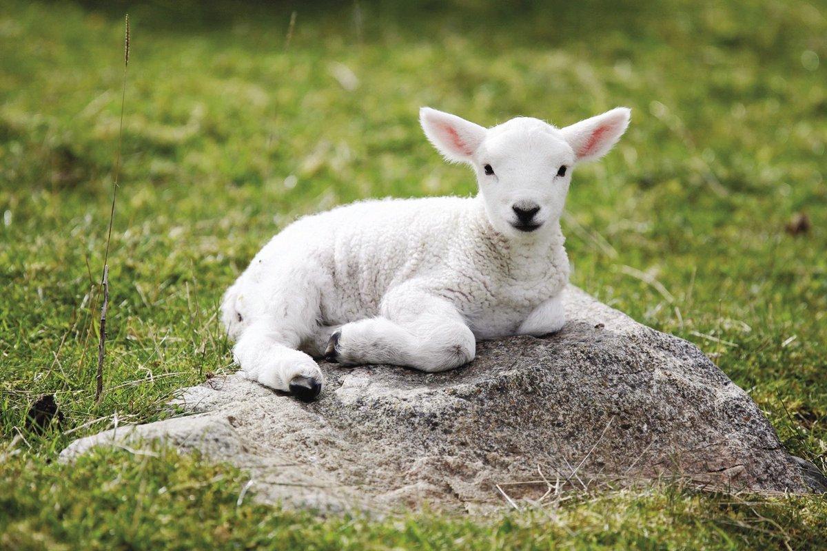 drake the sheep drakedasheep twitter