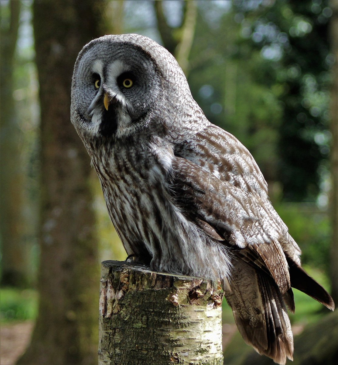 great gray owl facts - HD1483×1600