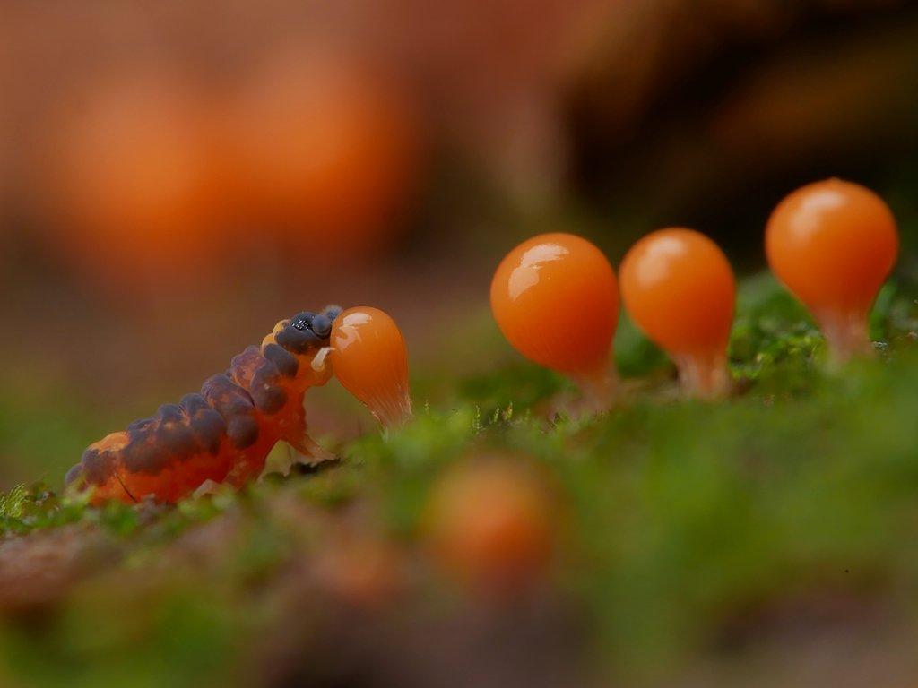 今年はヌカホコリを食べるトビムシをたくさん撮れた。