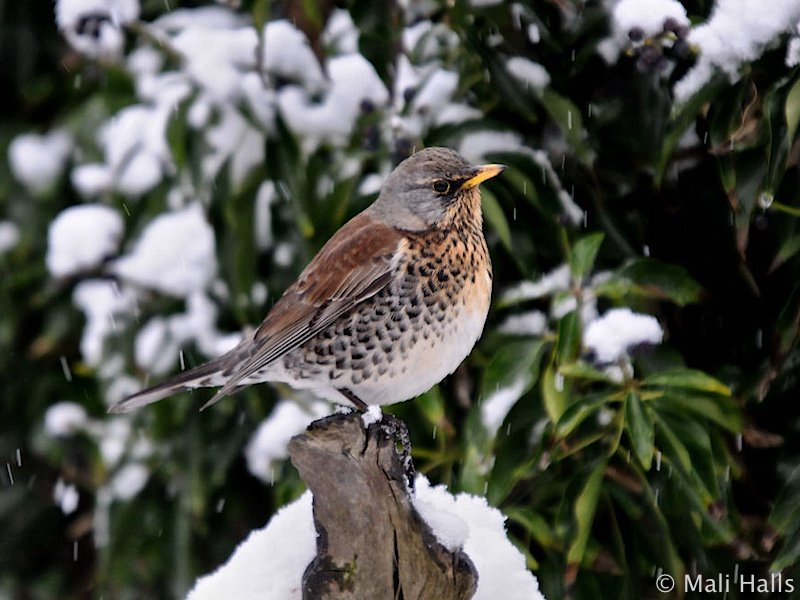 #Fieldfare...Soon be time for these #winter #Thrushes, this one stayed in our #tiny #urban #garden for 6 #days a couple of #years ago. <br>http://pic.twitter.com/gewTSYWjm1