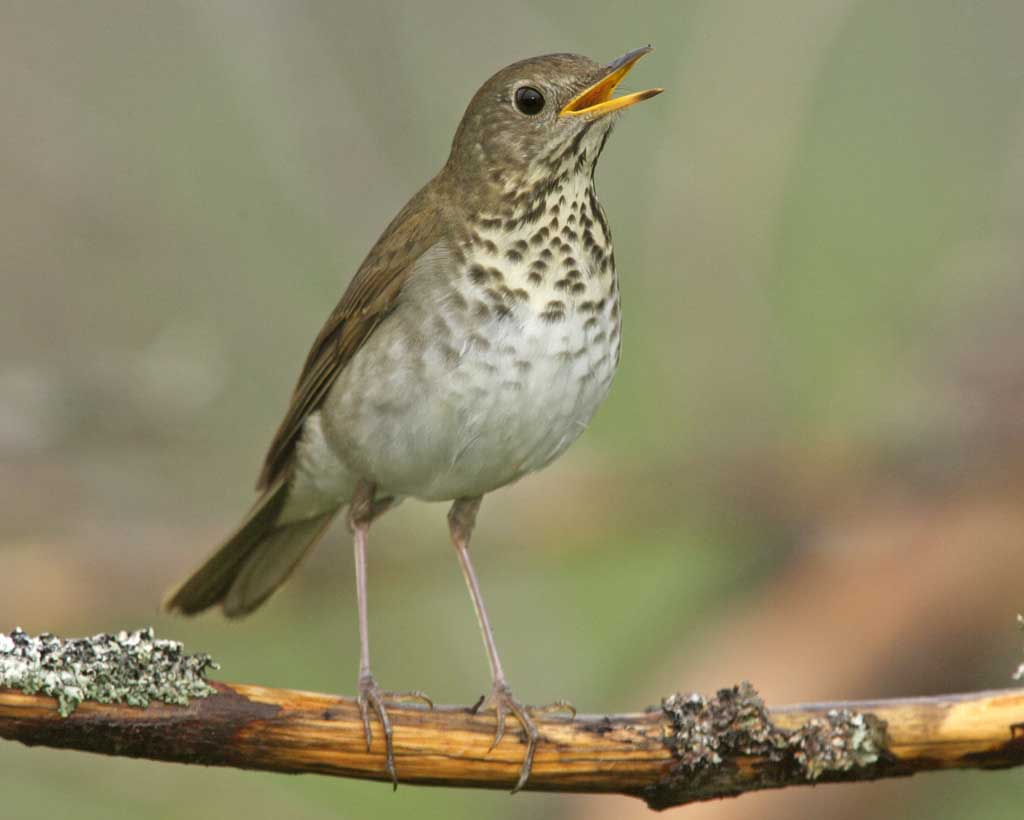 DOI rejects 25 endangered species petitions, including Bicknells Thrush wapo.st/2y1CbjO?tid=ss…