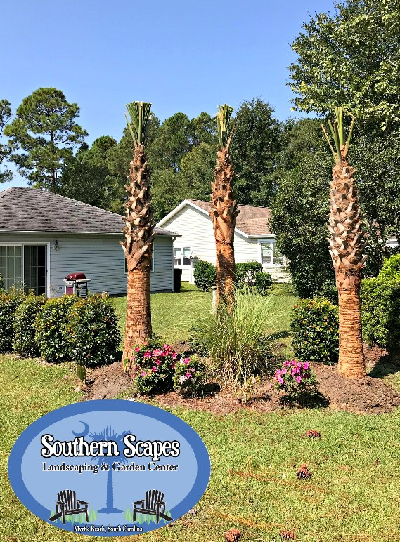 Hurricane Cut Sabal Palms Installed Last Week October Is A Great Time For Installation Come Tag Yours Today Myrtlebeach Landscapingpic Twitter