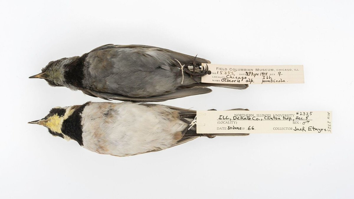 How soot on birds feathers lets us trace carbon in the air over more than a century: field.mu/OWlt30fKPtE