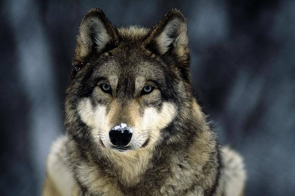 Картинки волка на аву