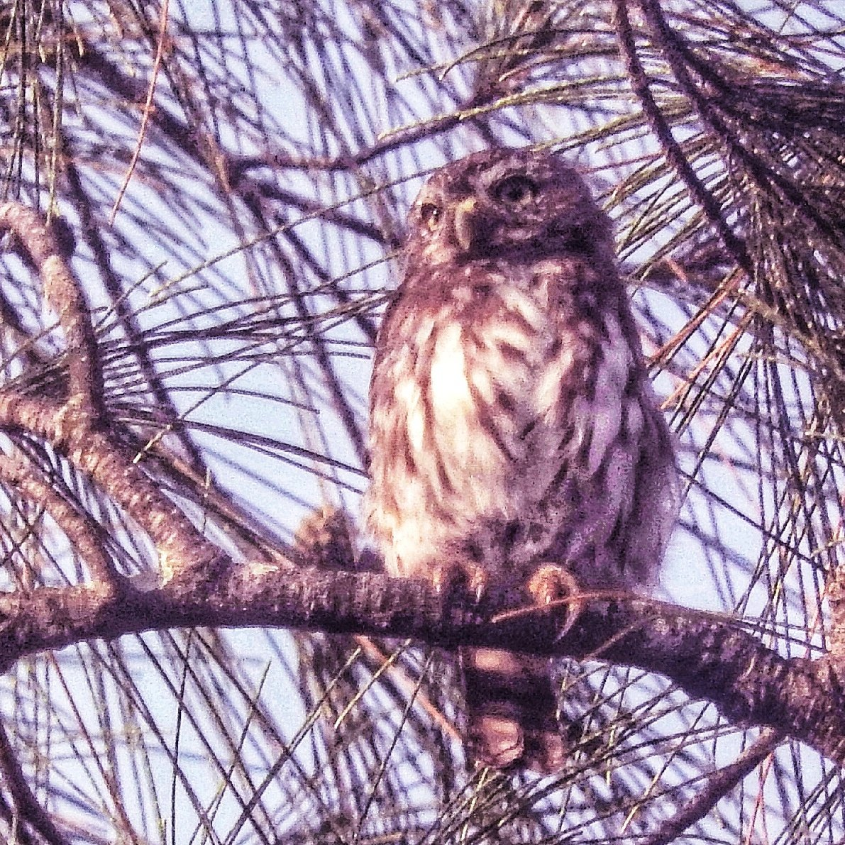 ferruginous pygmy-owl who has just been hit by some brown jays