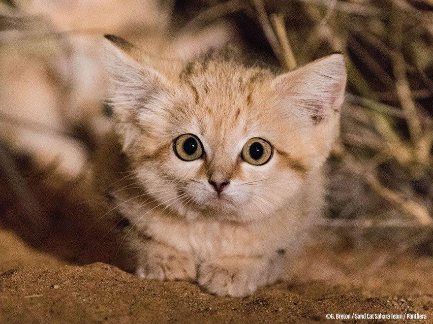 В дикой природе впервые засняли детенышей барханного кота