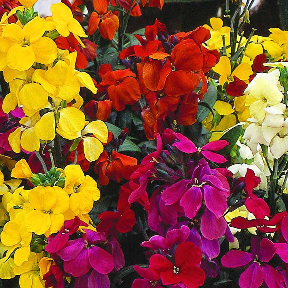We have #Wallflowers in Formby at the moment, but be quick they need planting ASAP! #loveyourgarden <br>http://pic.twitter.com/eJdNAD7QVJ