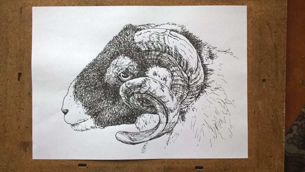 Swaledale sheep. Prompt &#39;gigantic&#39; (this sheep has enormous presence). From my own photo. #inktober #inktober2017 #Swaley #Swaledale #sheep<br>http://pic.twitter.com/jCVK8RhM2J