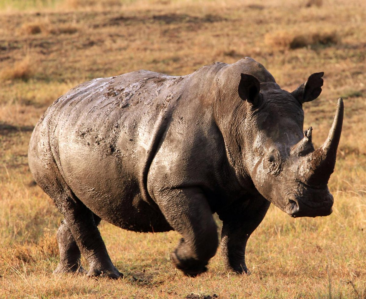 фото стадо носорогов понравилась