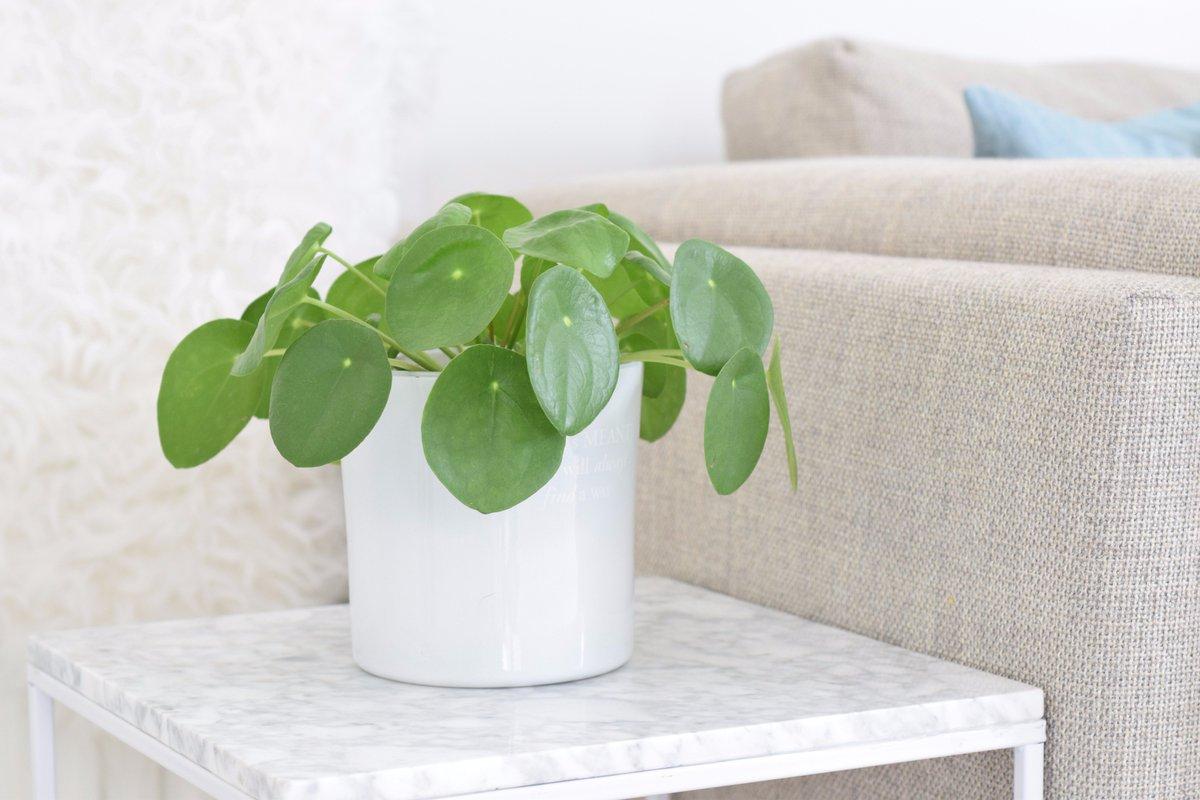 super gaaf als decoratie in huis of bijvoorbeeld voor op je bureau de balie of in een kantine hbvdk pannenkoekenplant webshop interieur interior