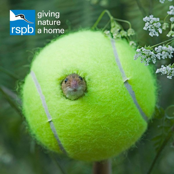 Did you know that tennis balls prove to be perfect penthouses for harv...