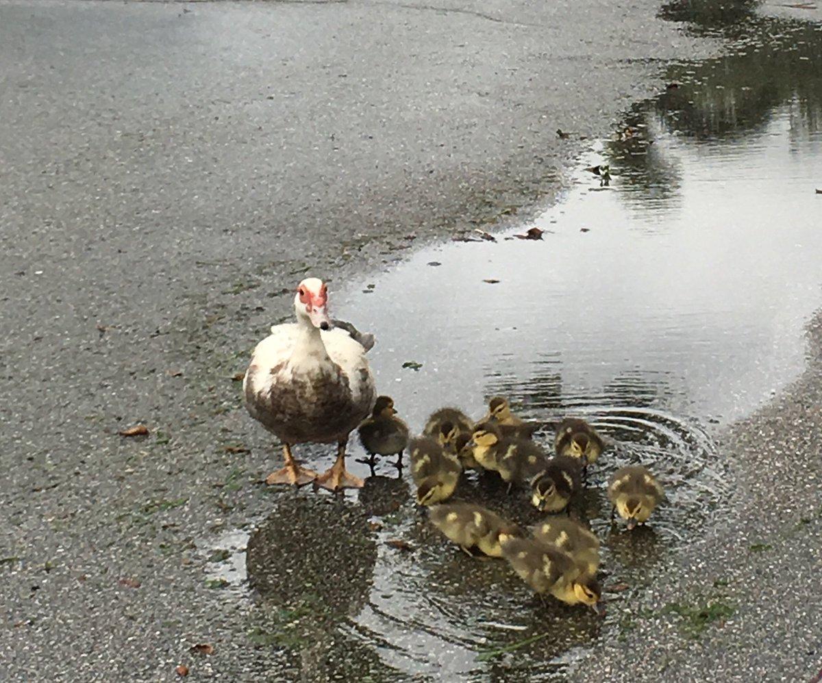 ducklings twitter search
