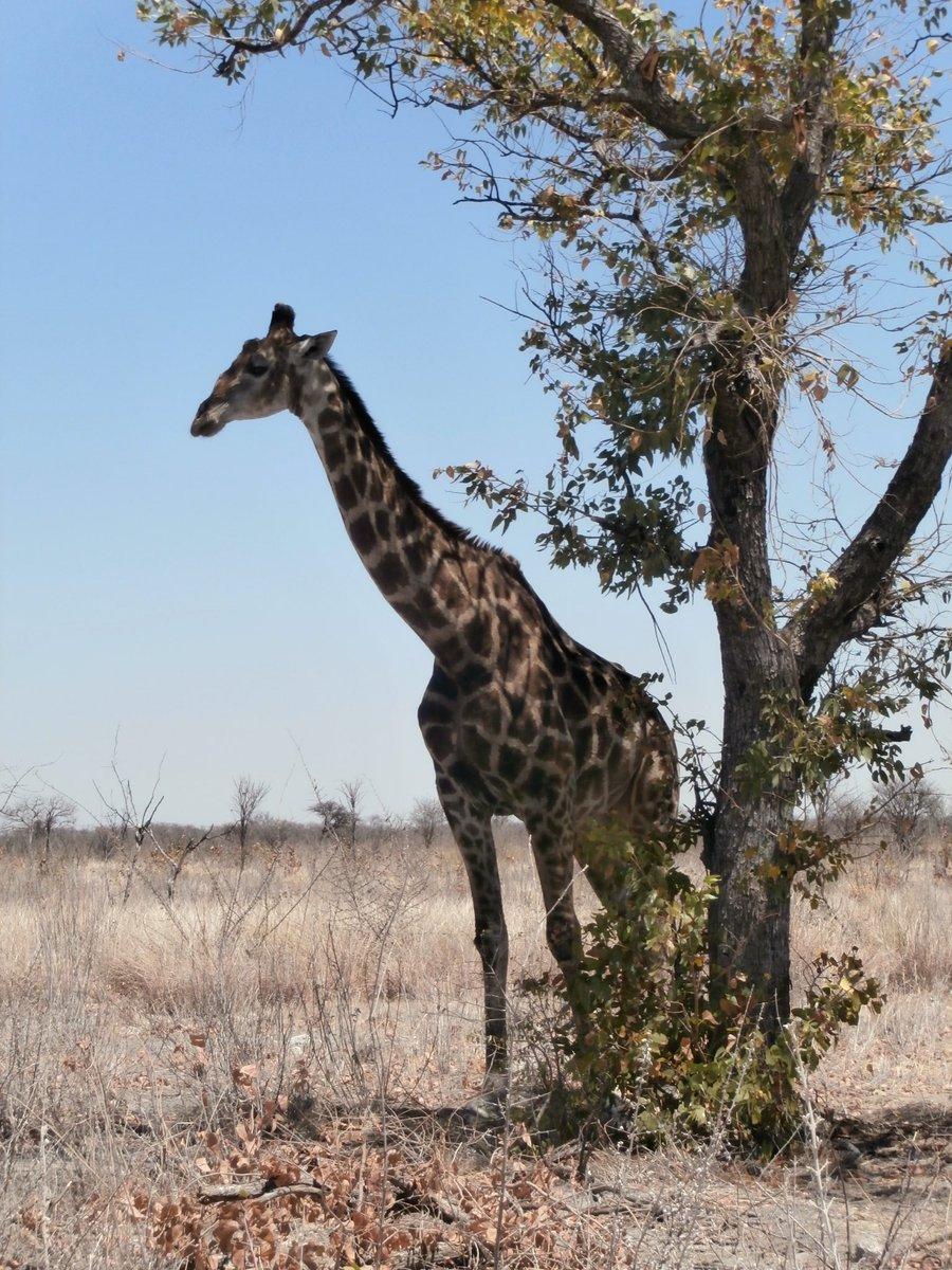 giraffes twitter search