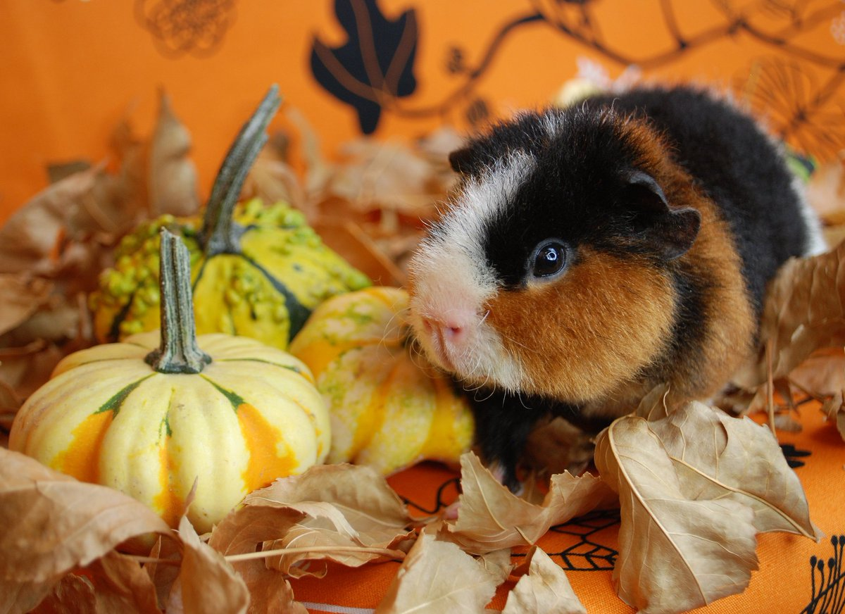 Oliver: So, I guess this means it&#39;s fall? #guineapig #fall #pets #adorable<br>http://pic.twitter.com/knE5Hax3vV