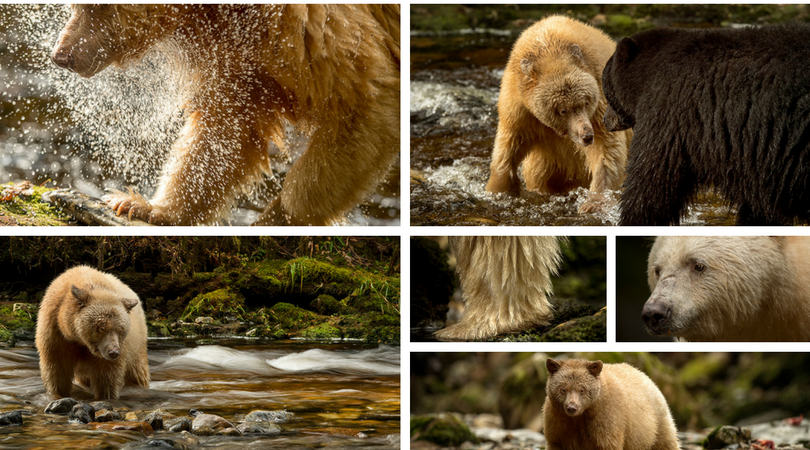 In the #GreatBearRainforest and spending time with the #spiritbear was #incredible!  #iwanttogoback #britishcolumbia #canada@nikoncanada<br>http://pic.twitter.com/ftGIDZOFya