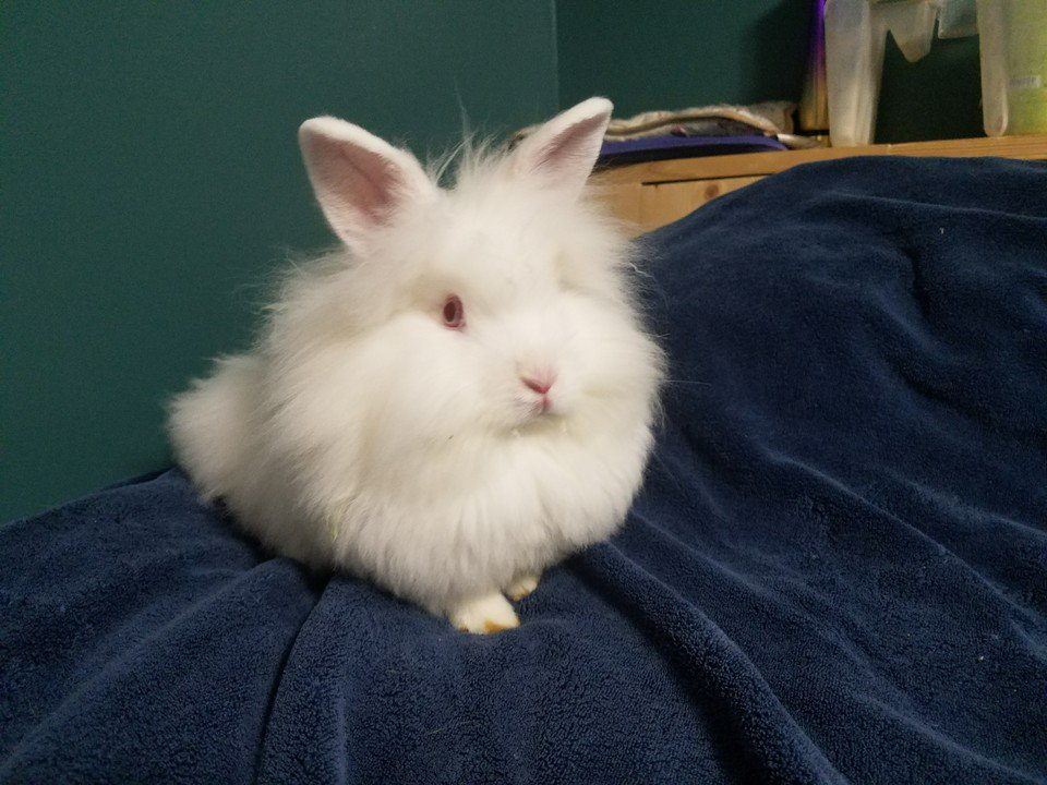 This gorgeous boy is looking for his forever home. More info on our site. #bunnies #rabbits #pets #cuteanimals #awww #babyanimals<br>http://pic.twitter.com/r2p9T66YpG