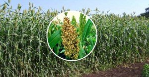 Did you know about this wonder crop, Sweet Sorghum, that can be used as fuel, paper and delicious bread spread?  #Incredible <br>http://pic.twitter.com/IgH4fp21v1