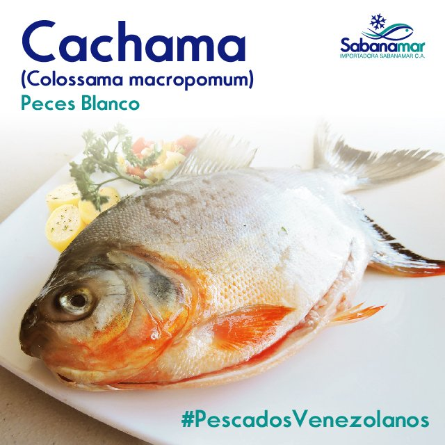 Sabanamar on twitter pescadosvenezolanos la cachama es for Pez cachama