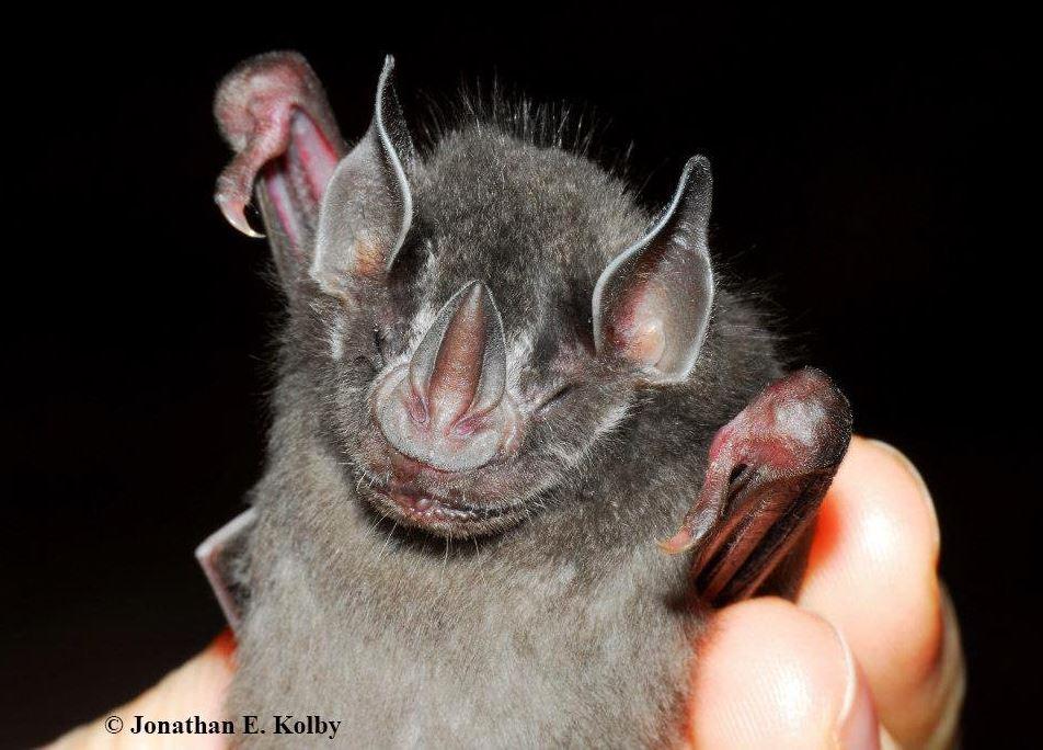 It's #BatWeek &amp; we love #bats! Many amazing species at our #HARCC rescue site like this Honduran fruit-eating #bat (Artibeus inopinatus)<br>http://pic.twitter.com/j4uWc2Srkv