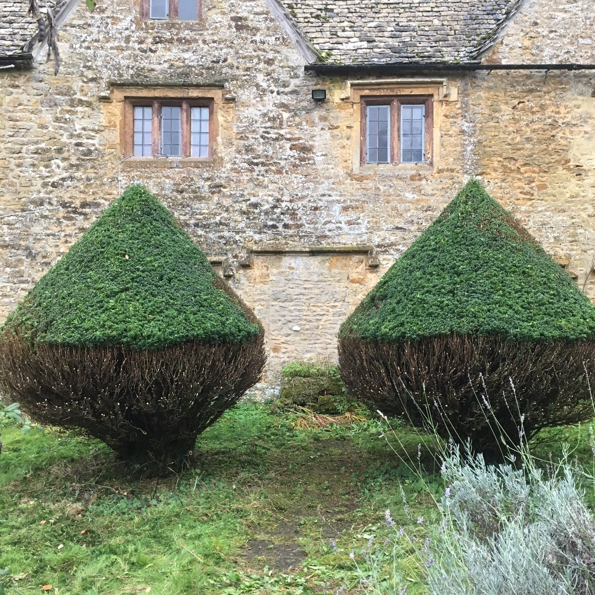 James Todman On Twitter Renovating Old Yew Topiary Stage 1 Cut Back As Close As Possible To Original Shape Doesn T Look Pretty But Beauty Of Yew Is That It Regrows From Old
