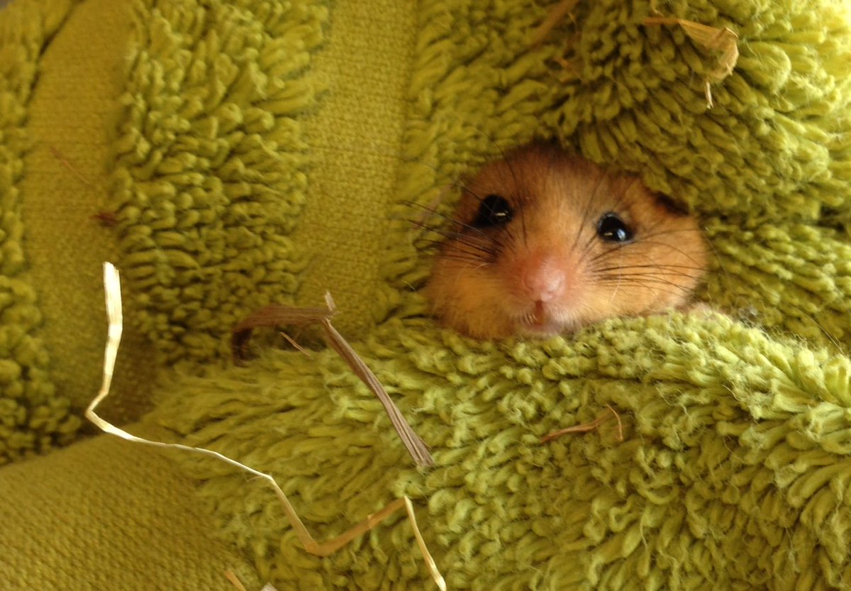 test Twitter Media - Our little dormouse fattening up nicely, we are liaising with other organisations about her potential release! #wildlife #toocute 🐁 https://t.co/NiKryxvLv4