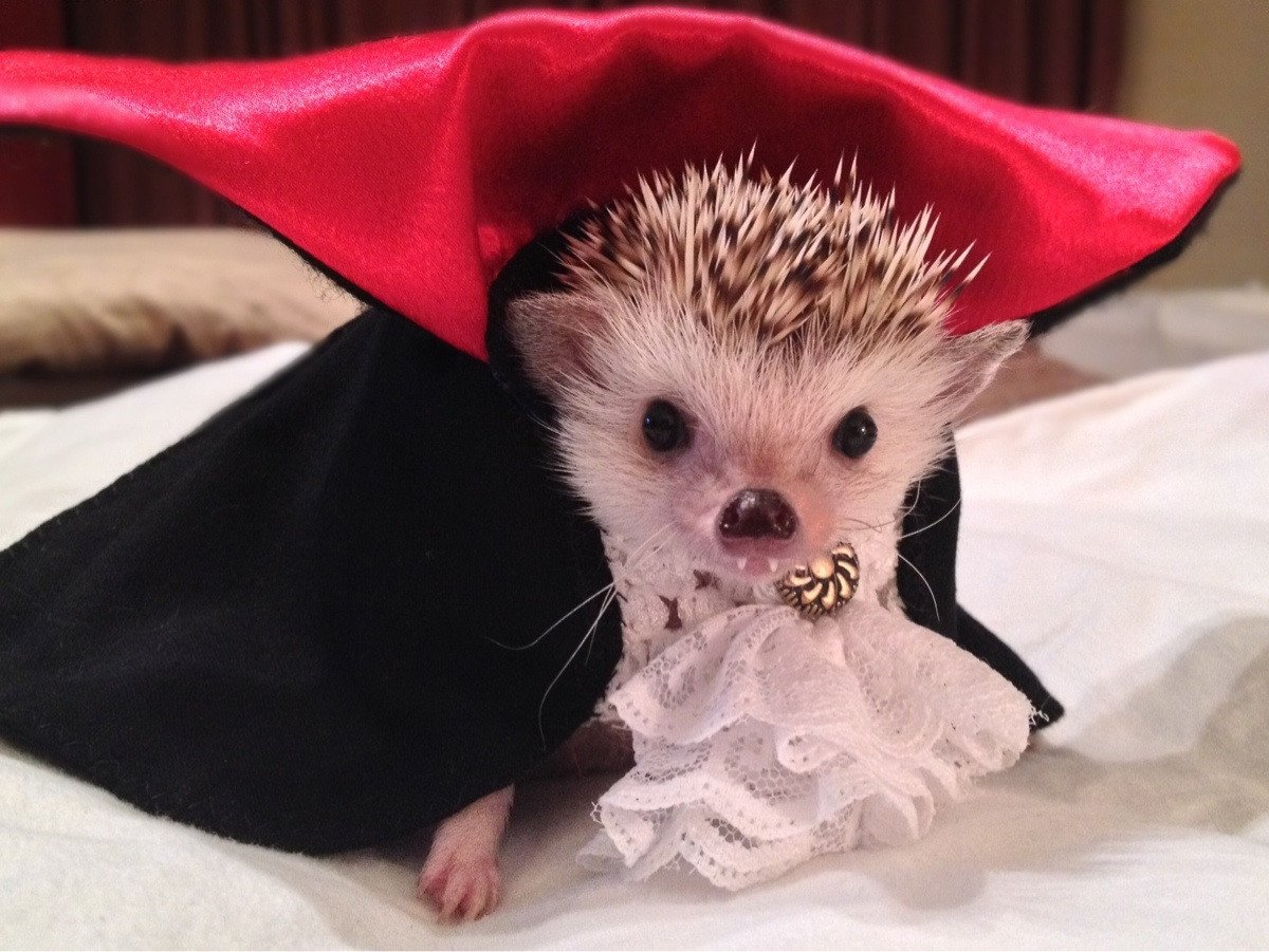 It's Friday the 13th and your TL has been blessed by a vampire hedgehog~ https://t.co/rvPnS9IGs9