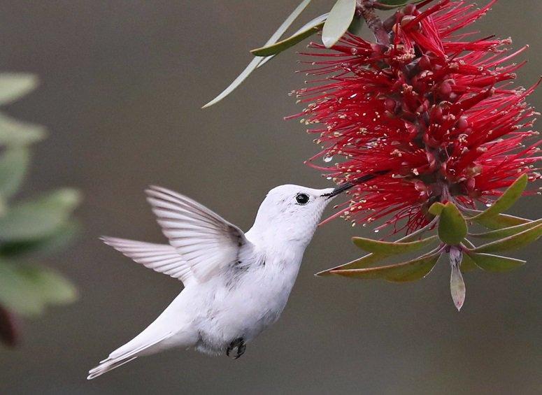 Rare albino ruby throated hummingbird #painting #art<br>http://pic.twitter.com/9nmBpWjLg1