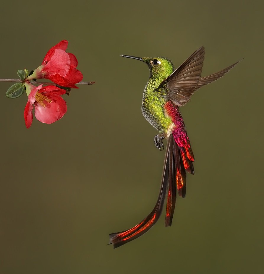Red-tailed Comet (Sappho sparganurus) #painting #art<br>http://pic.twitter.com/wdTE8dfmQ7
