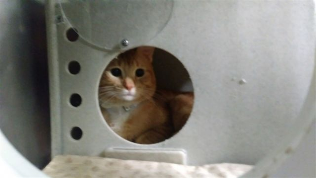 #FOSTER #PLEDGE FOR THIS WARY #GINGER DOLL curious about treats!! SAVE LOGAN TODAY-- SAT!  http:// nyccats.urgentpodr.org/logan-9436/  &nbsp;    #NYC #cats<br>http://pic.twitter.com/D1QFs4hyIn