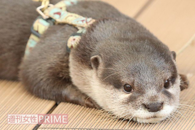 【News】 <カワウソがブーム>「かわいい、飼いたい」の裏にある危機と問題 - livedoor https://t.co/uj9GbOk3kv #google https://t.co/yV3qC9avOd
