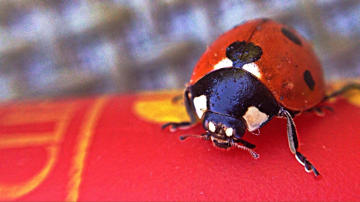 This morning a #ladybug on my table  with @olloclip macro lens<br>http://pic.twitter.com/stuebWMhuv
