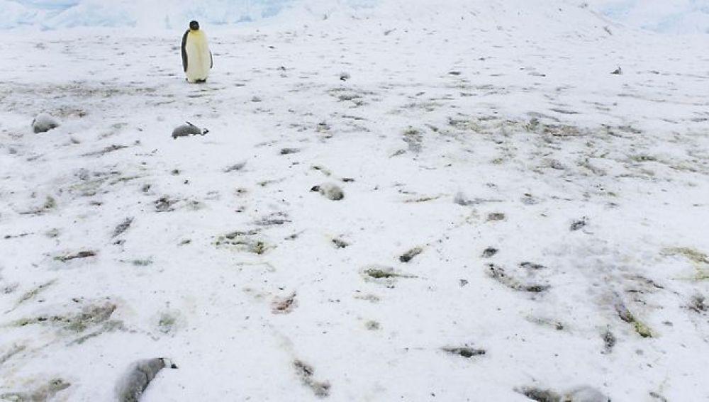 Tragedia en la Antártida: sólo dos crías de pingüinos logran sobrevivir de una colonia de casi 40.000 https://t.co/GeEq8yixjb