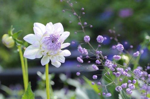 Shoot on twitter very pretty flowers of dahlia eveline https shoot on twitter very pretty flowers of dahlia eveline httpstv8eyf68grc garden plants mightylinksfo