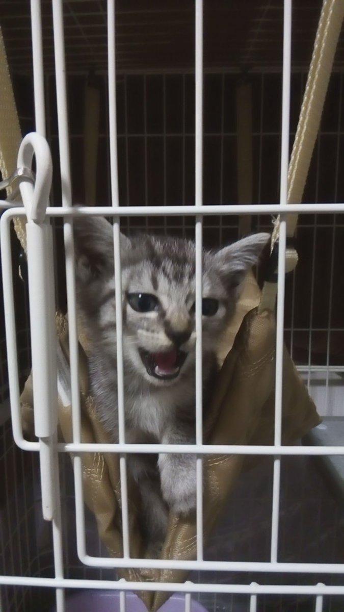 ... には平熱ノドやら鼻水やらは治らないけどままはこんなことで寝込んでられないんざますっ(`・ω・´)キリッ #猫好きさんと繋がりたい #猫 pic.twitter.com/98IaygF05V