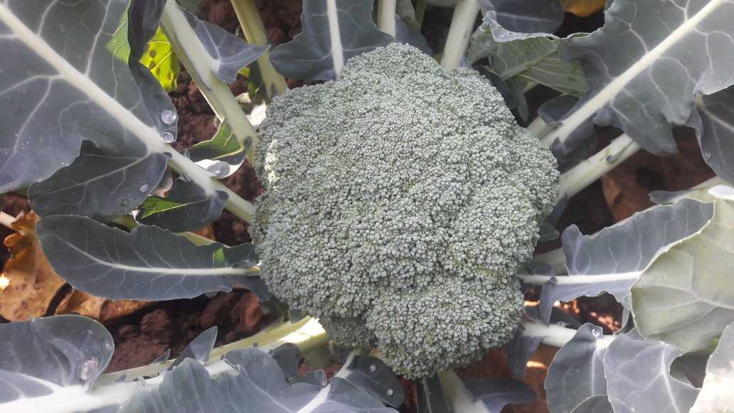 Beautiful  #Broccoli  @SyngentaCropsUK   #Besty #Batory #Beany  #Monaco #Monrello #Monflor  #Vegetables @LoveYourGreens<br>http://pic.twitter.com/YlFJExrMAC