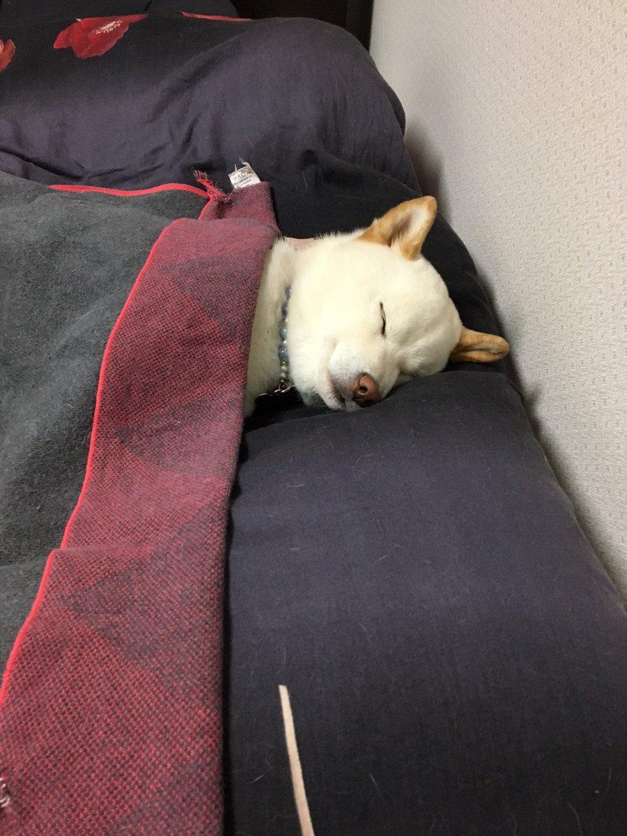 当初、段ボールにタオルを敷いたもので寝る予定だった犬ですが、最終的には人のベッドで布団と枕を使って寝ています